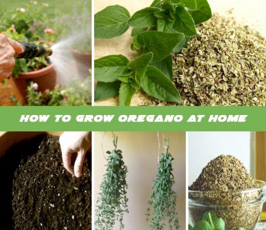 How To Grow Oregano At Home