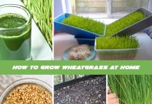 How to Grow Wheatgrass at Home