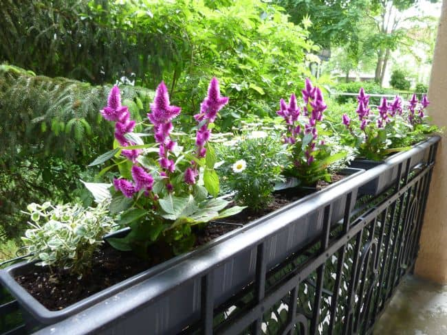 Some requirements for growing Celosia