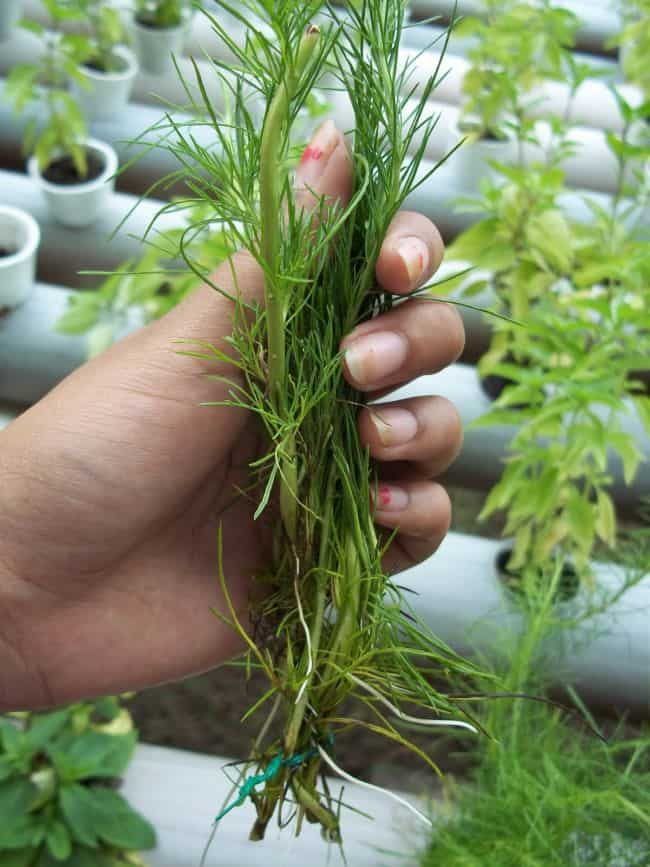 How to Grow Dill from Cuttings