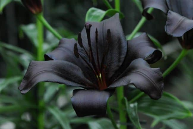 Natural Black Flowers