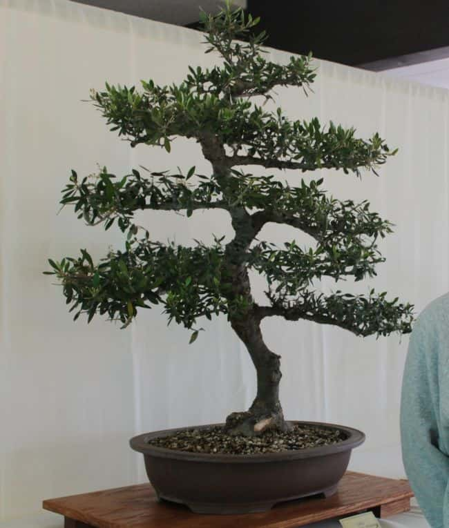 25 most popular bonsai trees bonsai tree care gardenoid for Growing olive trees indoors