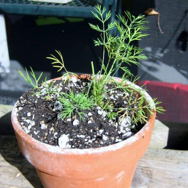 Growing Dill