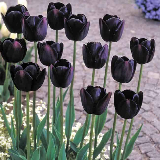 Black Colored Flowers