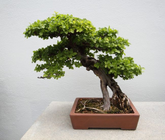 Best Trees for Bonsai
