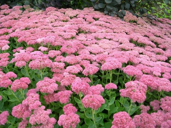 Drought Resistant Flowering Plants