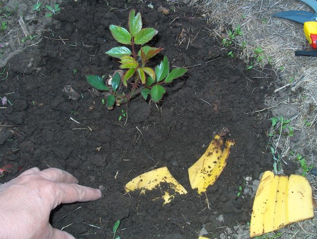 Banana Peels Fertilizer