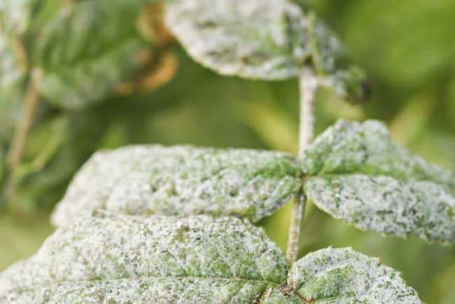 Baking Soda Uses in The Garden