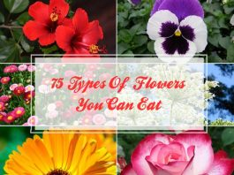 75 Types Of Flowers You can Eat