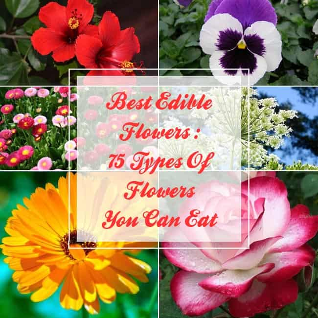 Best Edible Flowers : 75 Types Of Flowers You Can Eat