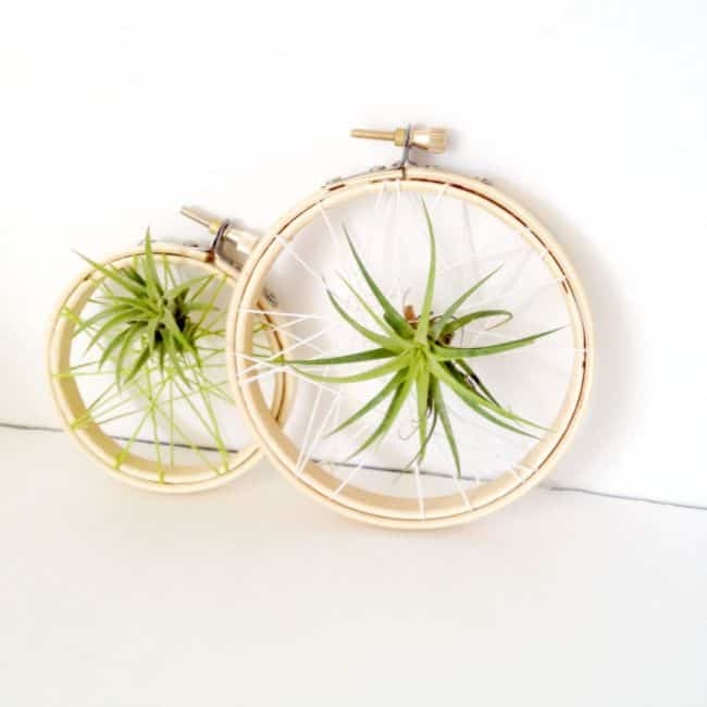 Air Plants Decoration