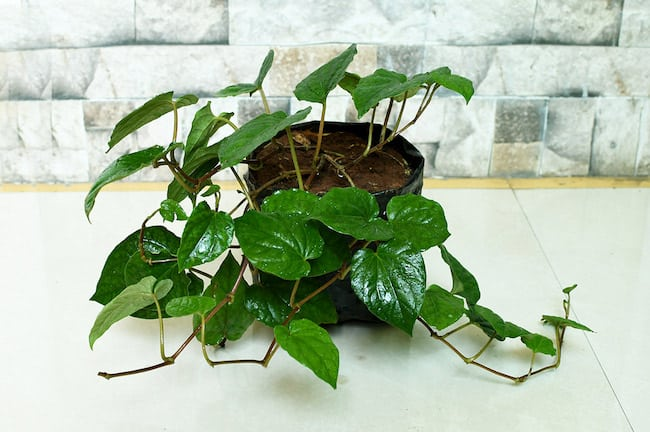 Growing betel leaf plant