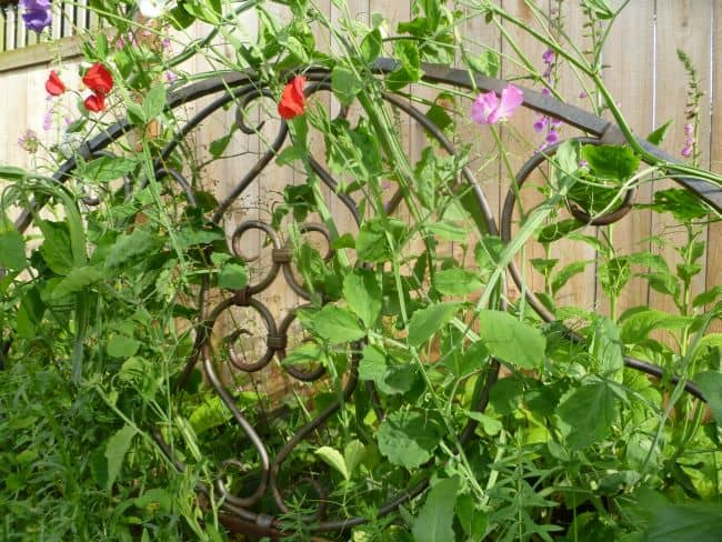Pea Trellis Ideas