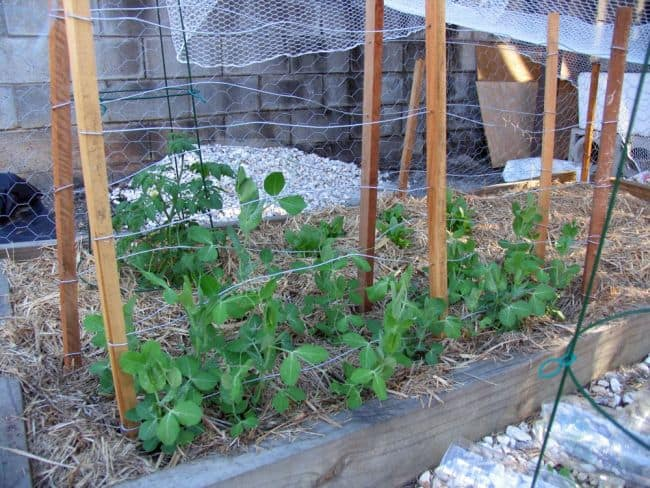 How to make a Trellis for Peas