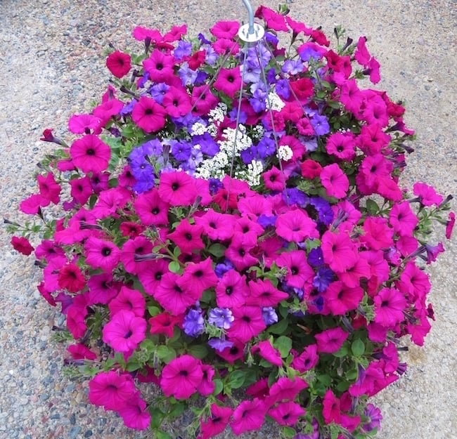 21 pink theme garden ideas using pink annual flowers gardenoid hanging petunias pink annual flowers mightylinksfo