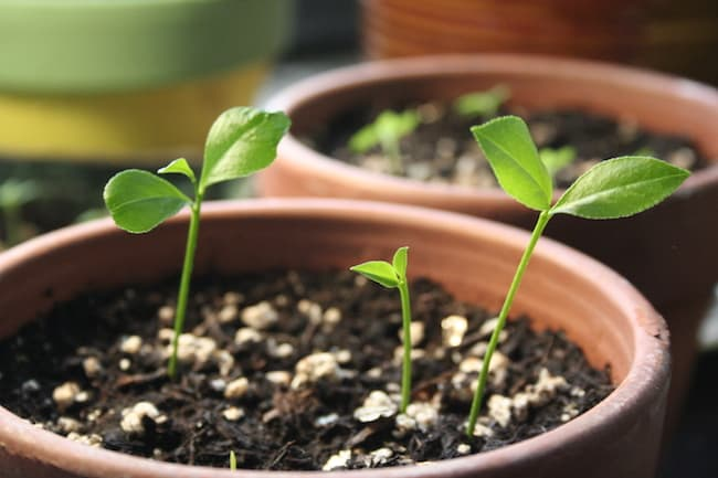 growing lemon tree from seed