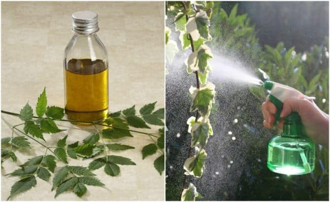 neem oil concentrate instructions