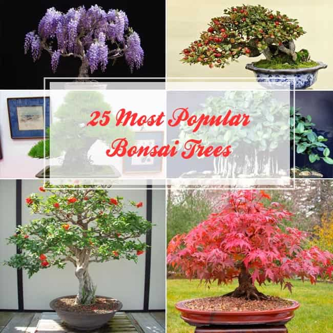 Most Popular Bonsai Trees