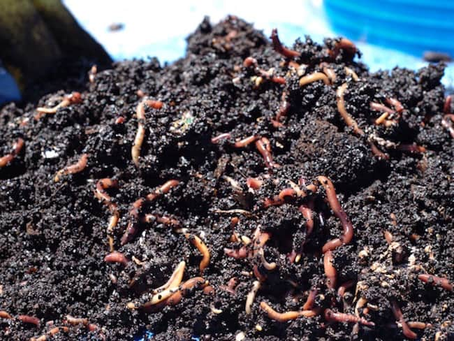 coffee grounds in the garden
