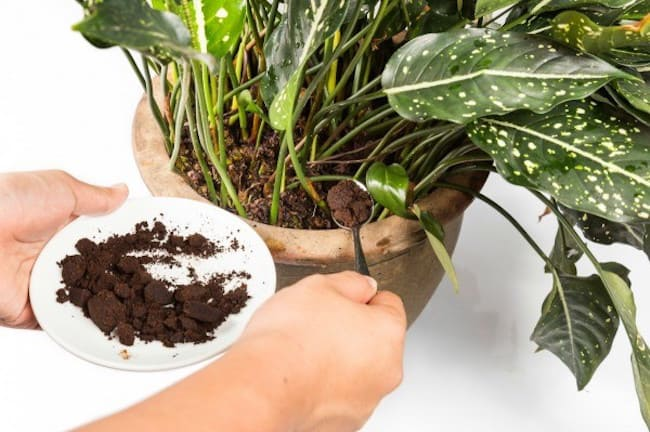 coffee grounds in the vegetable garden