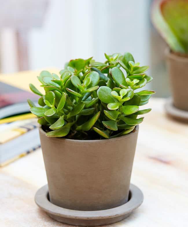 grow jade plant