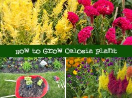 How To Grow Celosia