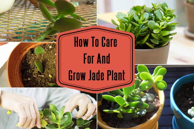 How To Grow Jade Plant