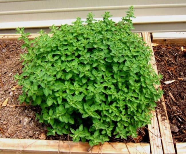Types of Oregano Plants