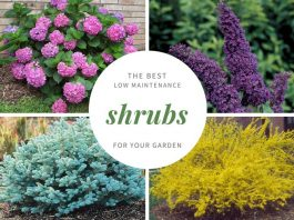 21 Best Low Maintenance Shrubs