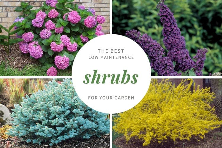 21 low maintenance shrubs anyone can grow gardenoid for Low maintenance evergreen shrubs