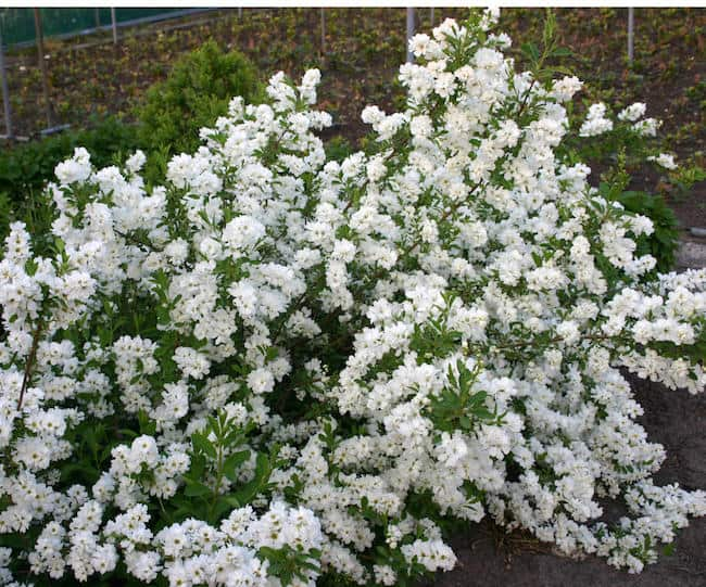 Flowering shrubs for full sun