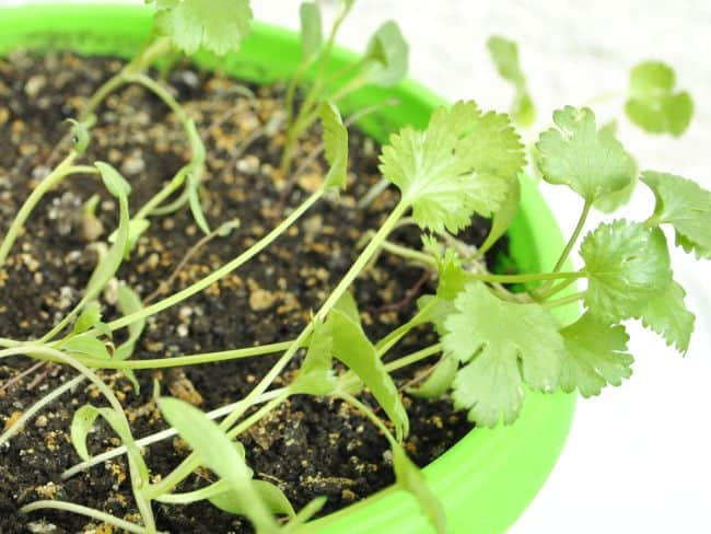 How to Plant Cilantro Seeds Indoors