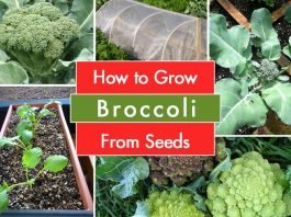 How To Grow Broccoli From Seeds