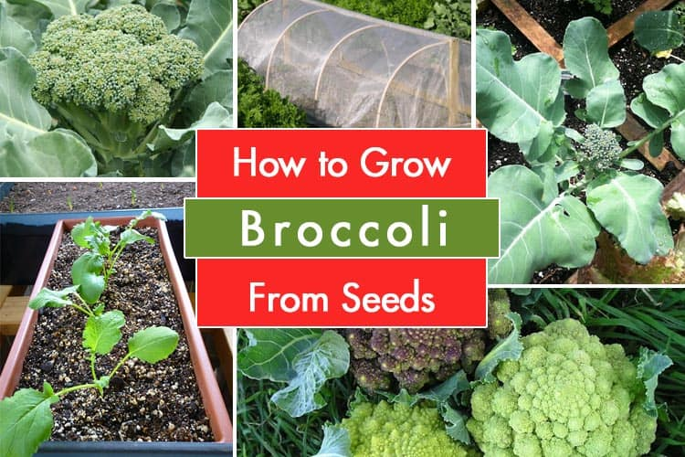 Growing Broccoli From Seeds