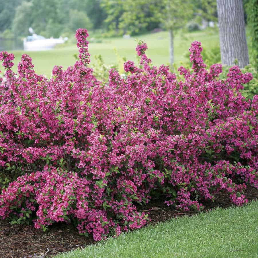 Best evergreen shrubs for front of house