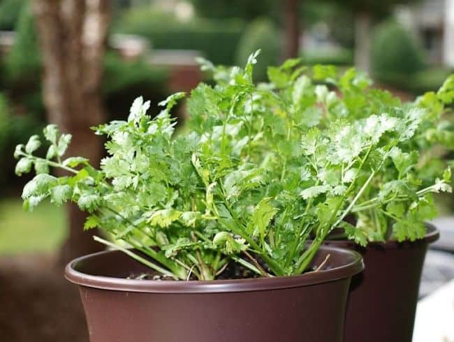 Growing Cilantro from Seeds