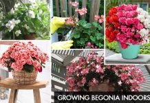 Growing Begonia Indoors