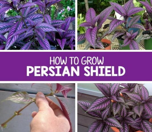 How To Grow And Take Care Of Persian Shield Plant