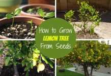 How to Grow Lemon Tree From Seeds