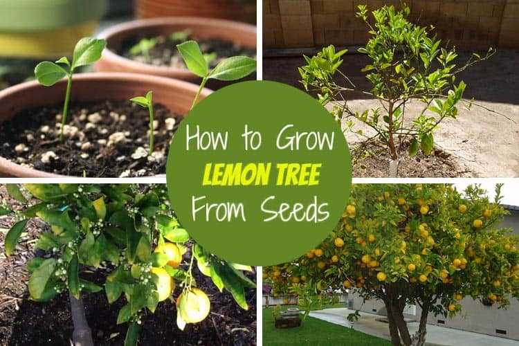 How to Grow Lemon Tree