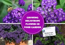 Growing Heliotrope Flowers In Your Garden