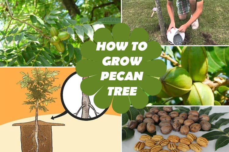 How to Grow Pecan Tree
