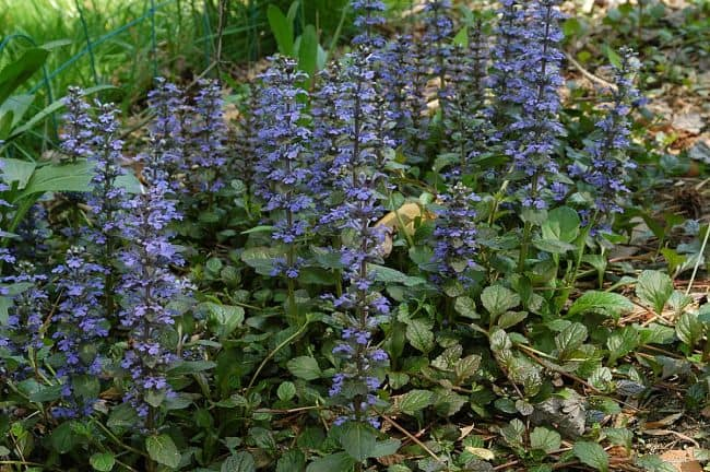 ground cover flowers for shade