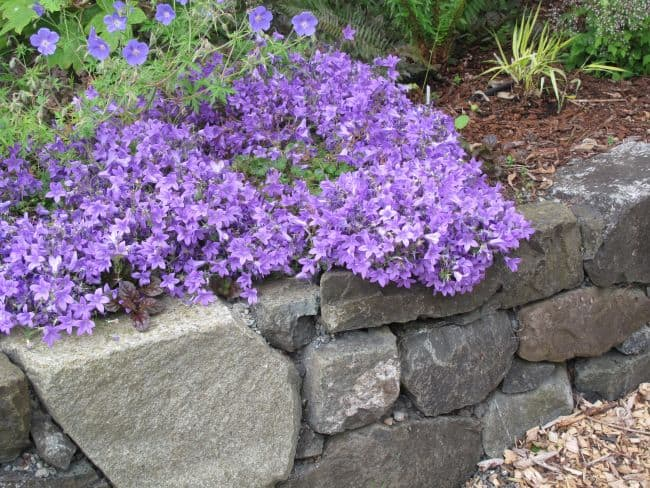 ground cover perennials