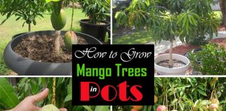 How To Grow Mango Tree In Pot
