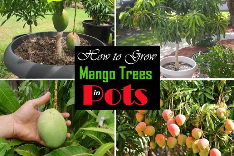 Grow Mango Tree