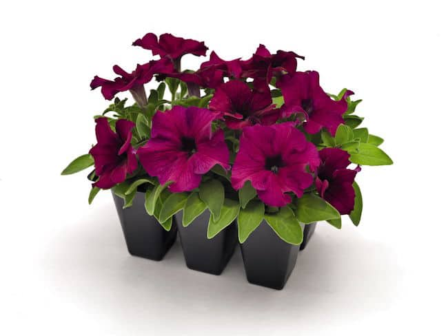 11 Tips For Growing Petunias In Containers And How To Care For