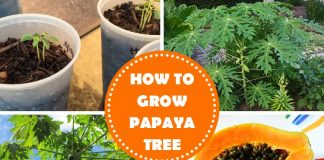 How To Grow Papaya Tree