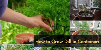 How to Grow Dill in Containers