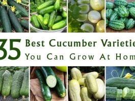 Best Cucumber Varieties